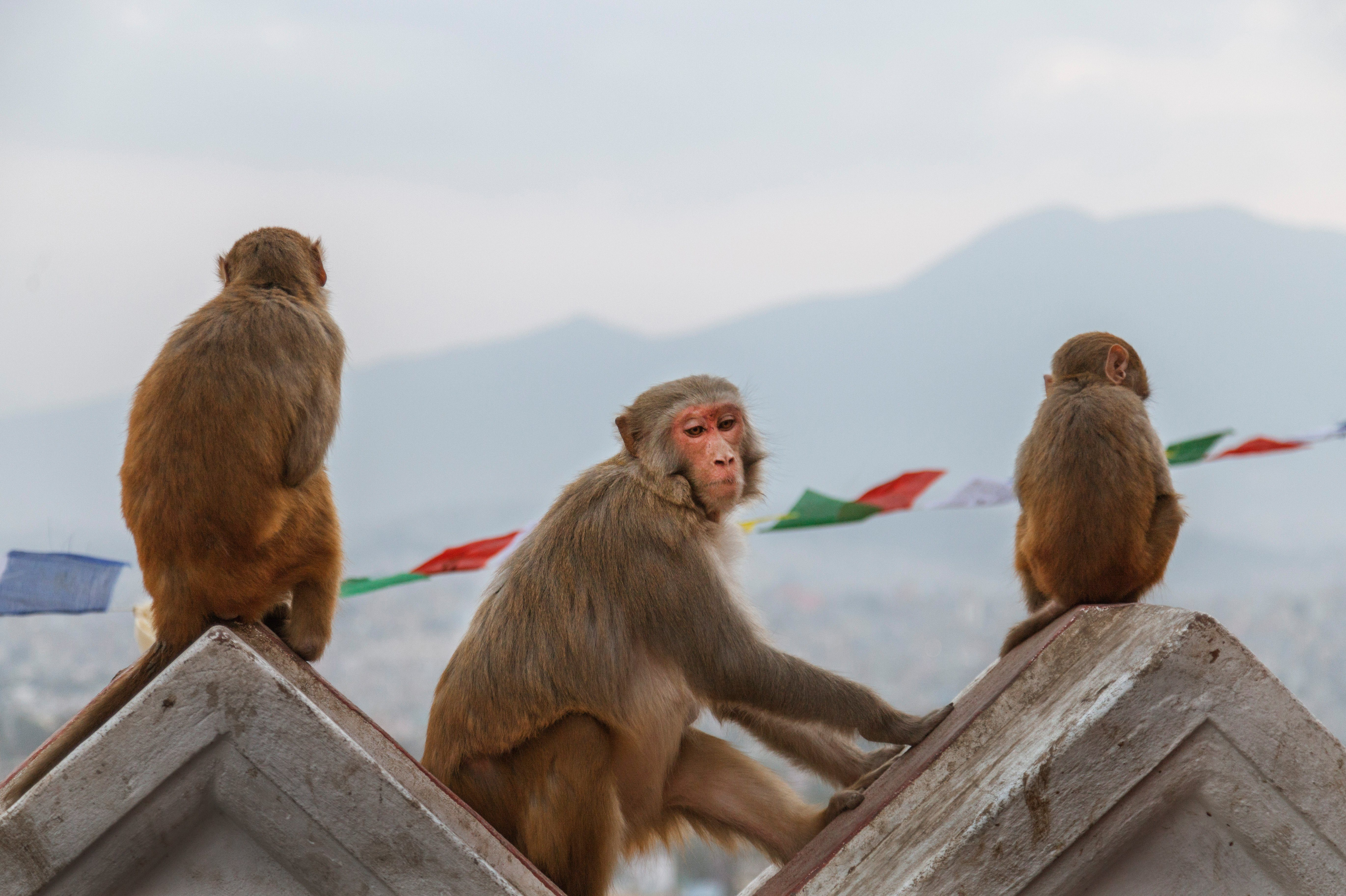 Macaque monkey sitting at the site of the Swayambhunath Temple (Monkey Temple), the background is a view of the city and its hills