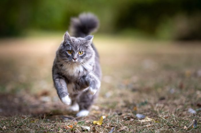 playful blue tabby maine coon cat running towards camera at high speed looking ahead outdoors in the back yard