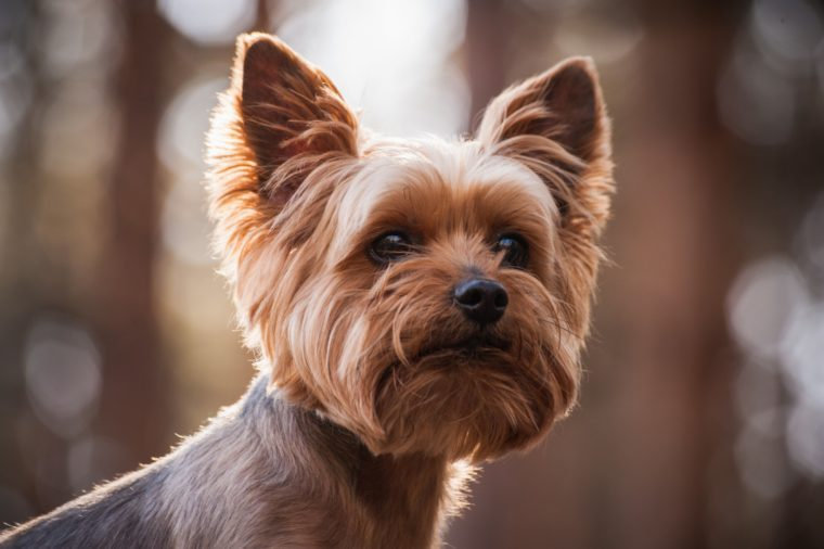 close up Portrait of the Yorkshire Terrier dog
