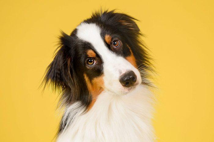 australian shepherd dog on yellow most popular dog names 2019