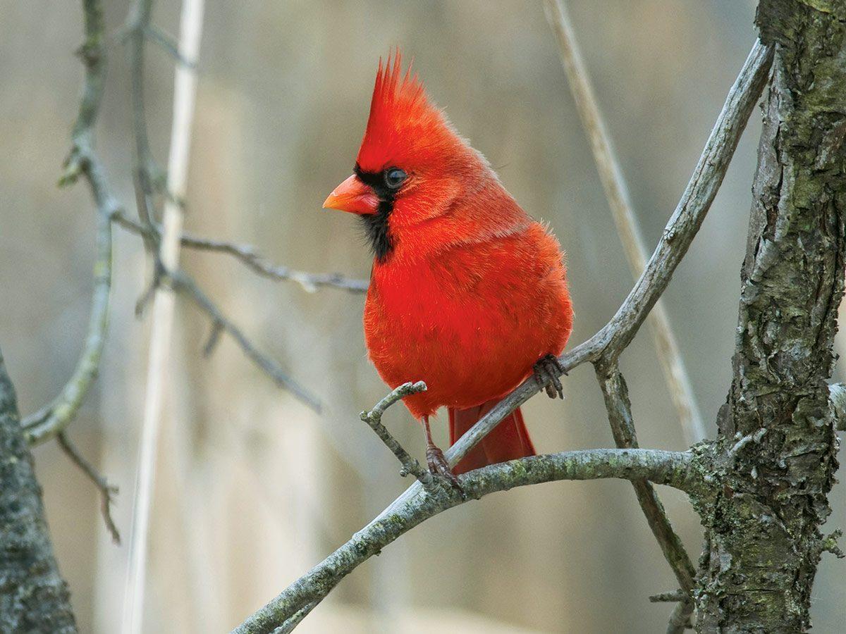 A cardinal bird in Riverside Park