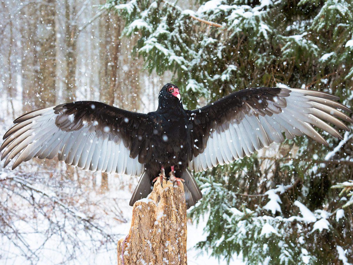 Turkey vulture at the Mountsberg Raptor Centre
