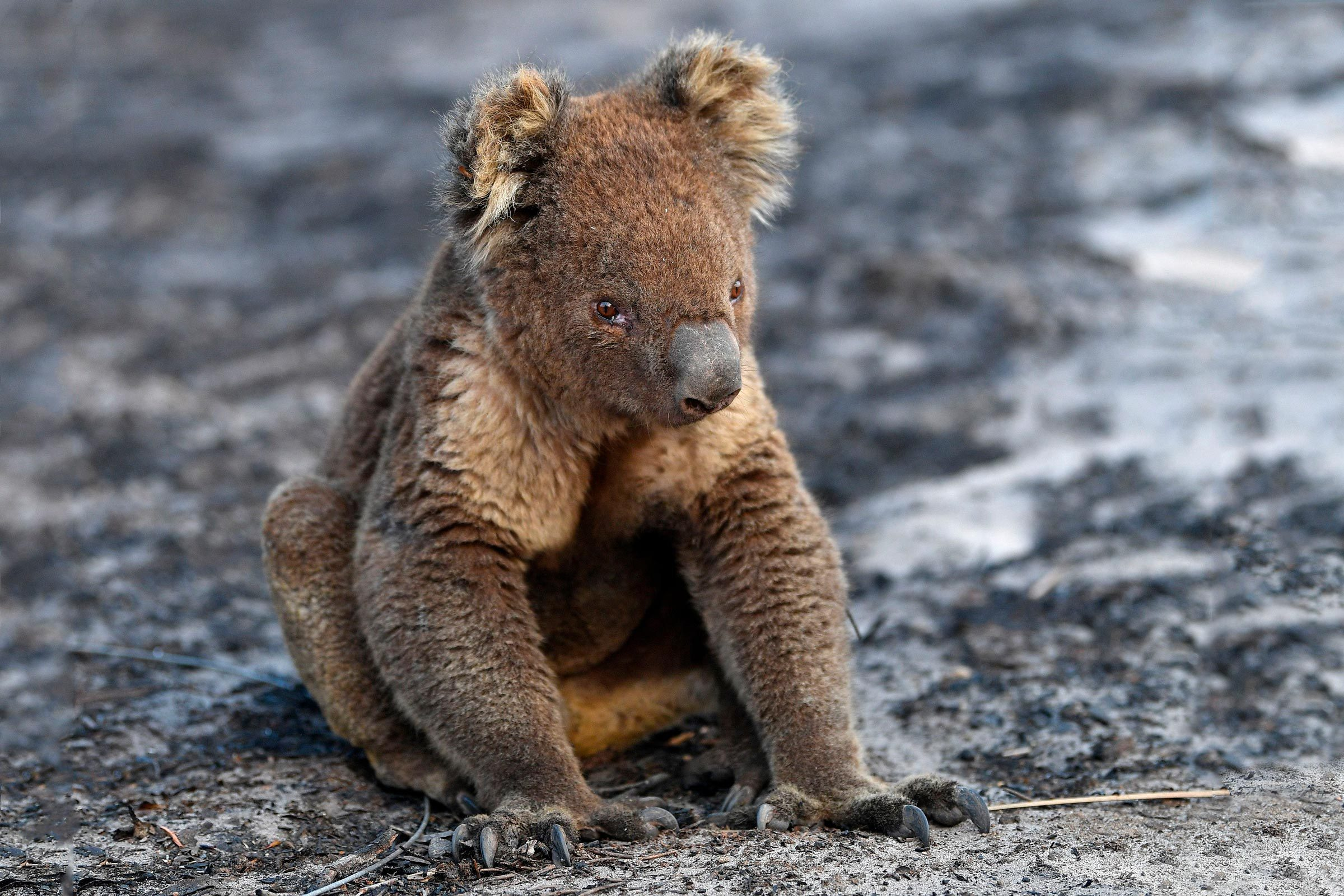 An injured Koala is seen at a forest near Cape Borda on Kangaroo Island, southwest of Adelaide, Australia, 07 January 2020