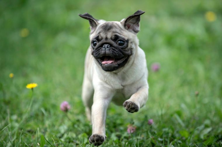 Happy Pug Dog Running on the Grass. Mouth Open.