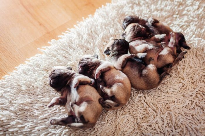 Five pug dog puppies sleeping on carpet at home