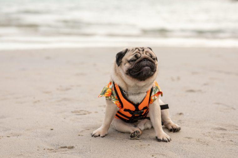 Happy dog pug breed wearing life jacket at beach