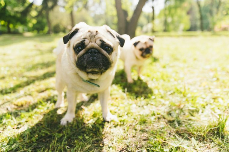 Two small fluffy cute dogs playing in the public park during springtime on pug meeting