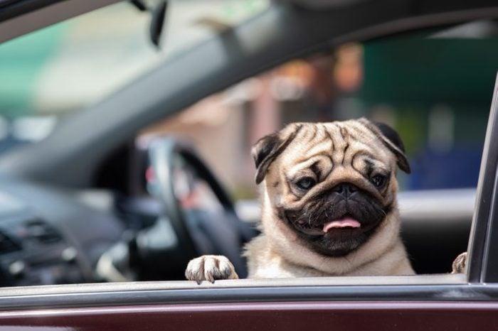 Cute Dog Pug in car smile
