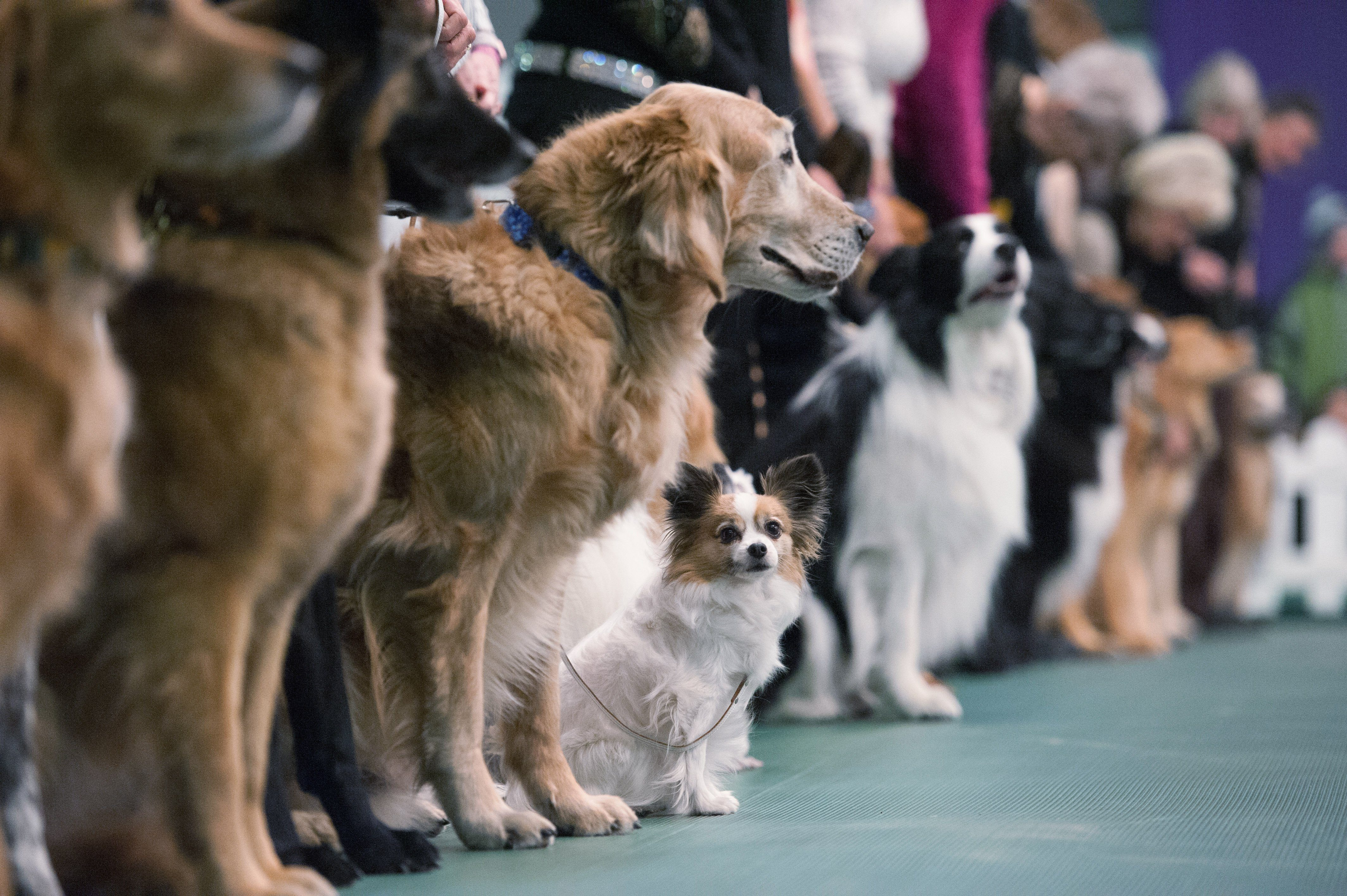 13 Facts About the Westminster Dog Show