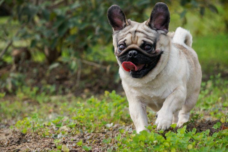 running pug ears up cute puppy