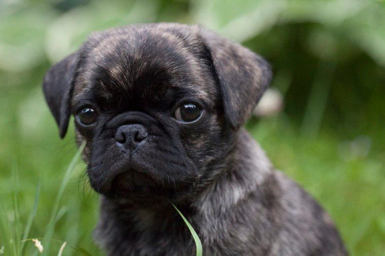 Brindle pug puppy cute pug