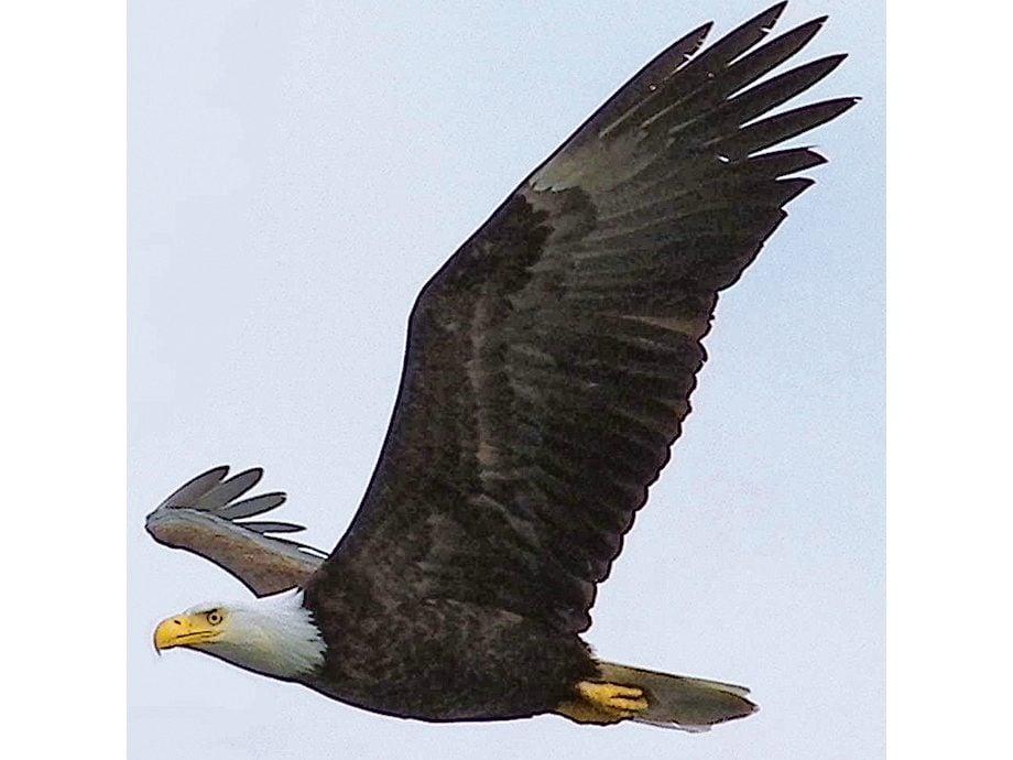 Bald eagle at Prince Rupert, B.C.