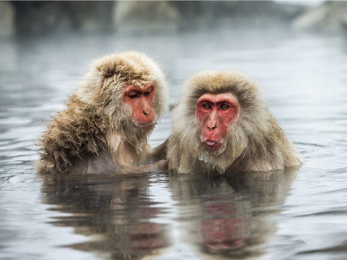 Japanese snow monkeys in Nagano Prefecture, Japan
