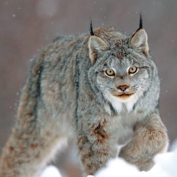 This Photographer Spent Months Bonding With a Spectacular Canada Lynx