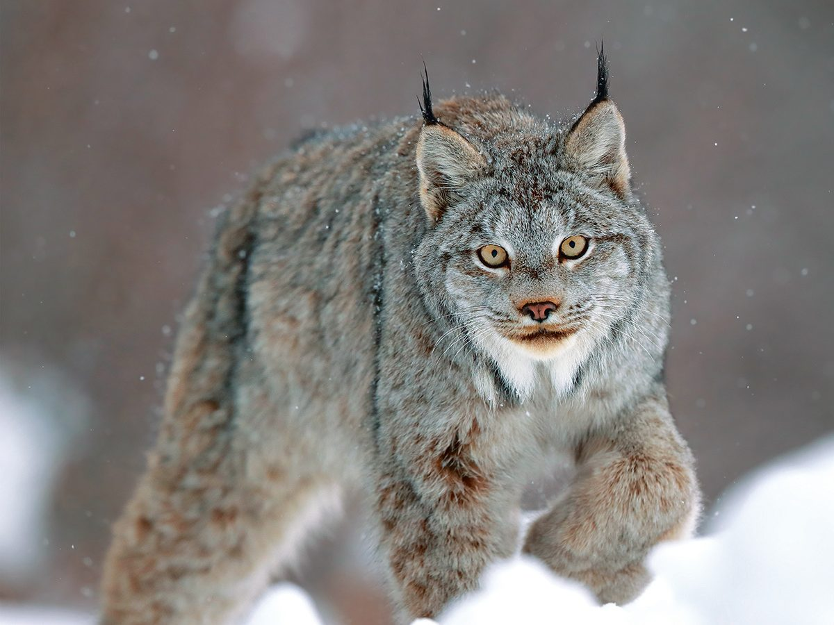 Canada lynx pouncing in winter