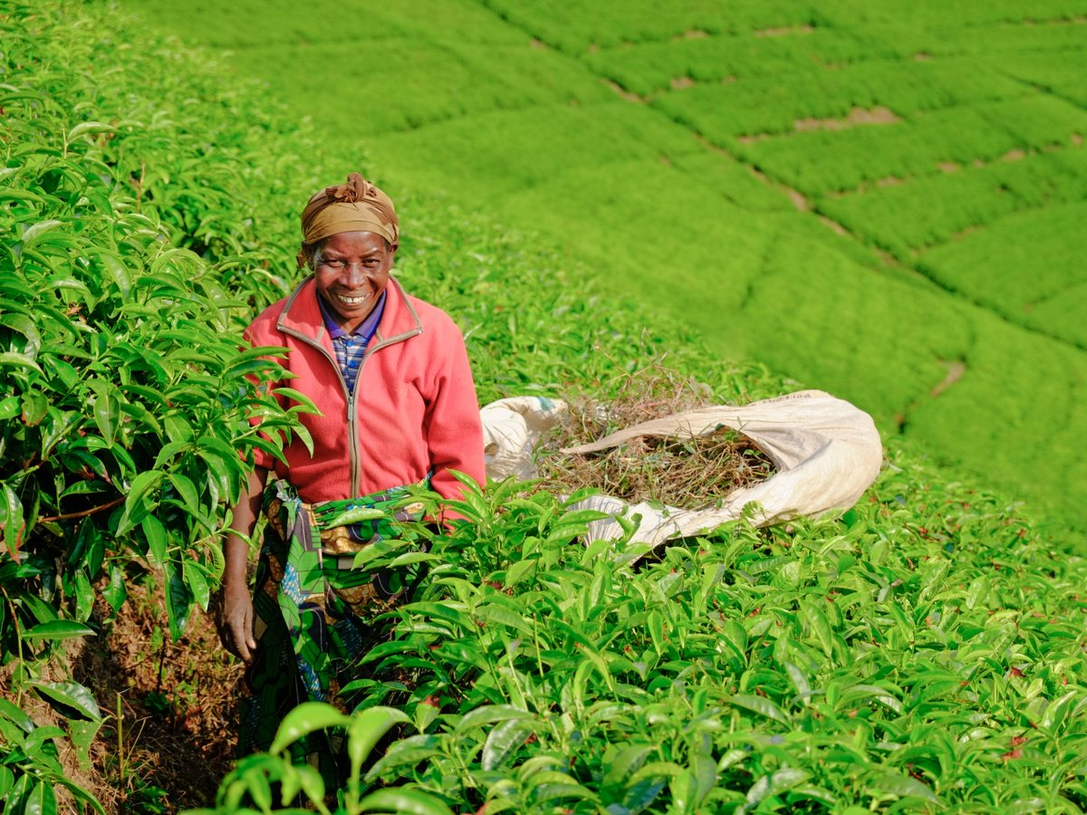African woman worker collecting tea in plantation in Rwanda