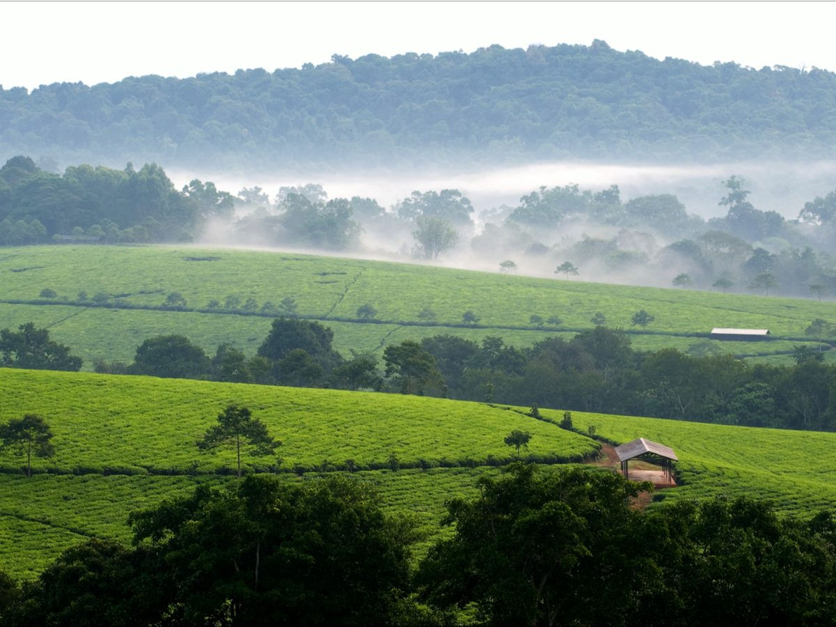 Gray morning fog over tea plantation in Uganda