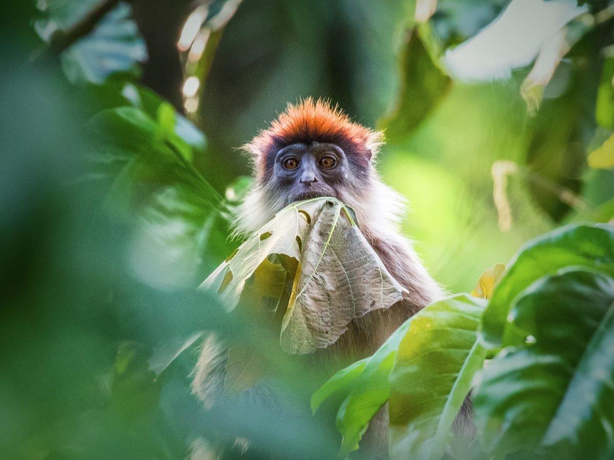 Ugandan red colobus monkey eating leaves in Bigodi Wetland Sanctuary