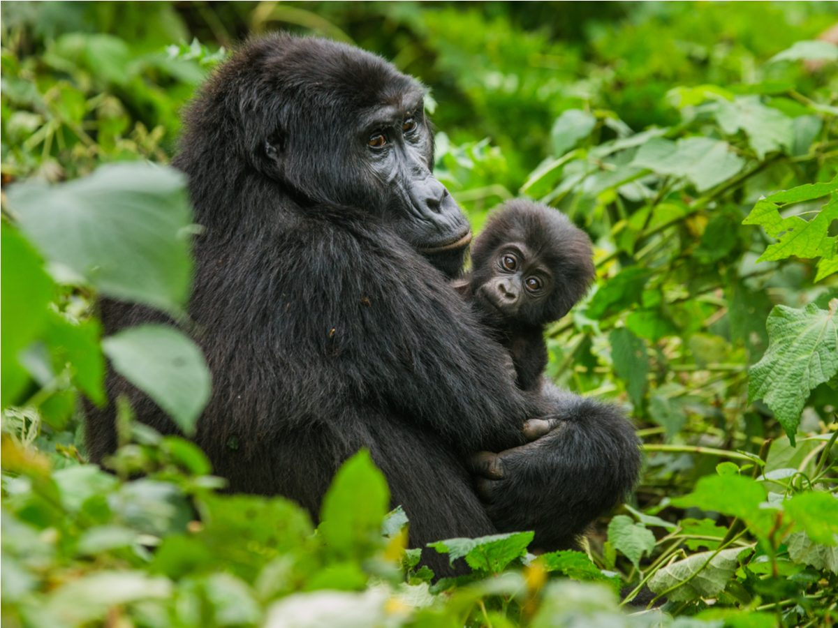 A female mountain gorilla in Bwindi Impenetrable Forest National Park, Uganda