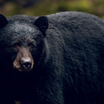 How I Struck Up An Incredible Friendship With a Wild Black Bear