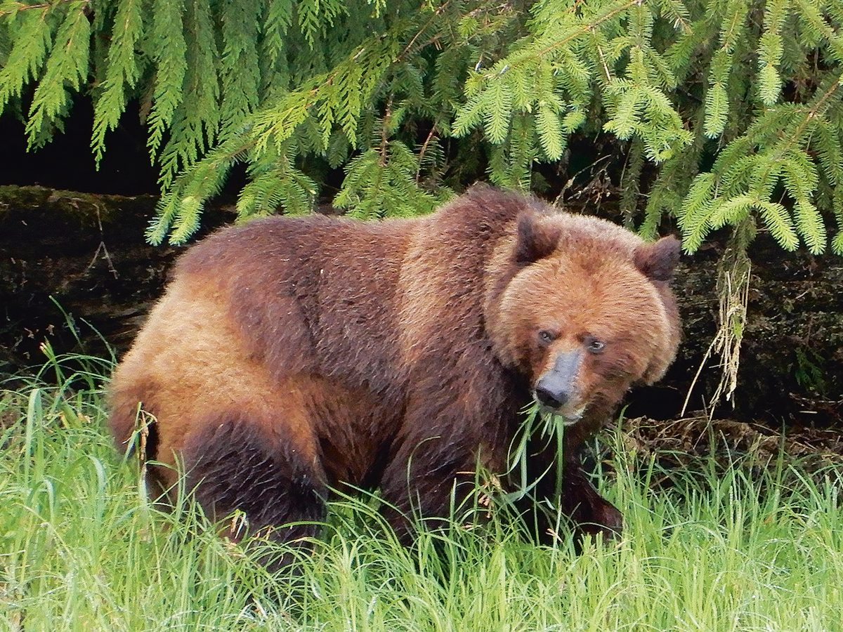 Prince Rupert, B.C., grizzly tour