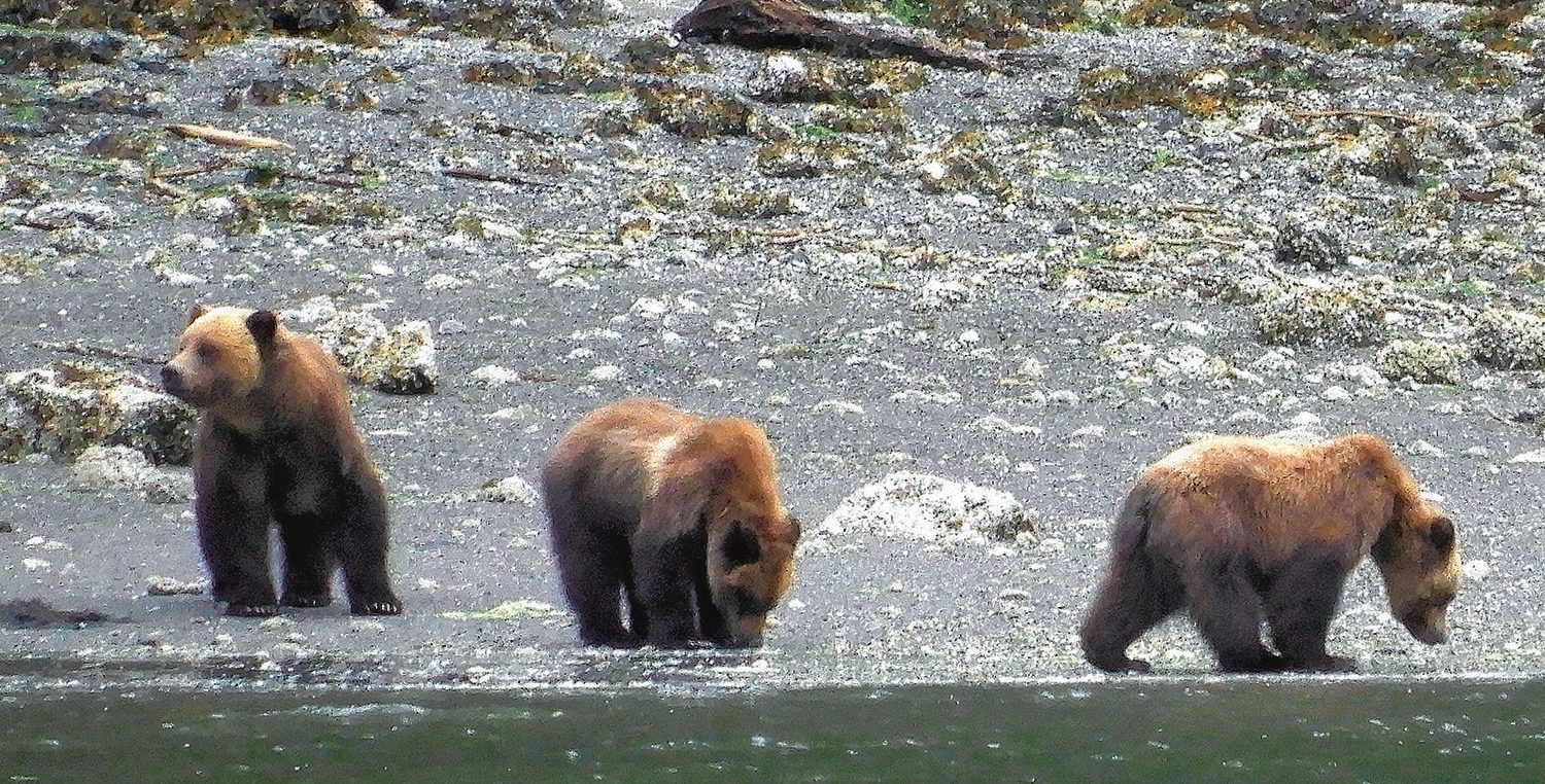 Prince Rupert, B.C., grizzly bears