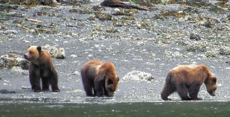 Prince Rupert, B.C., grizzly bears