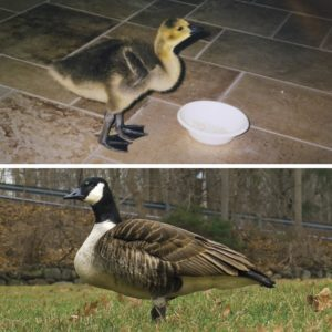 This Family Raised a Baby Canada Goose for a Year—20 Years Later, It Returned Home