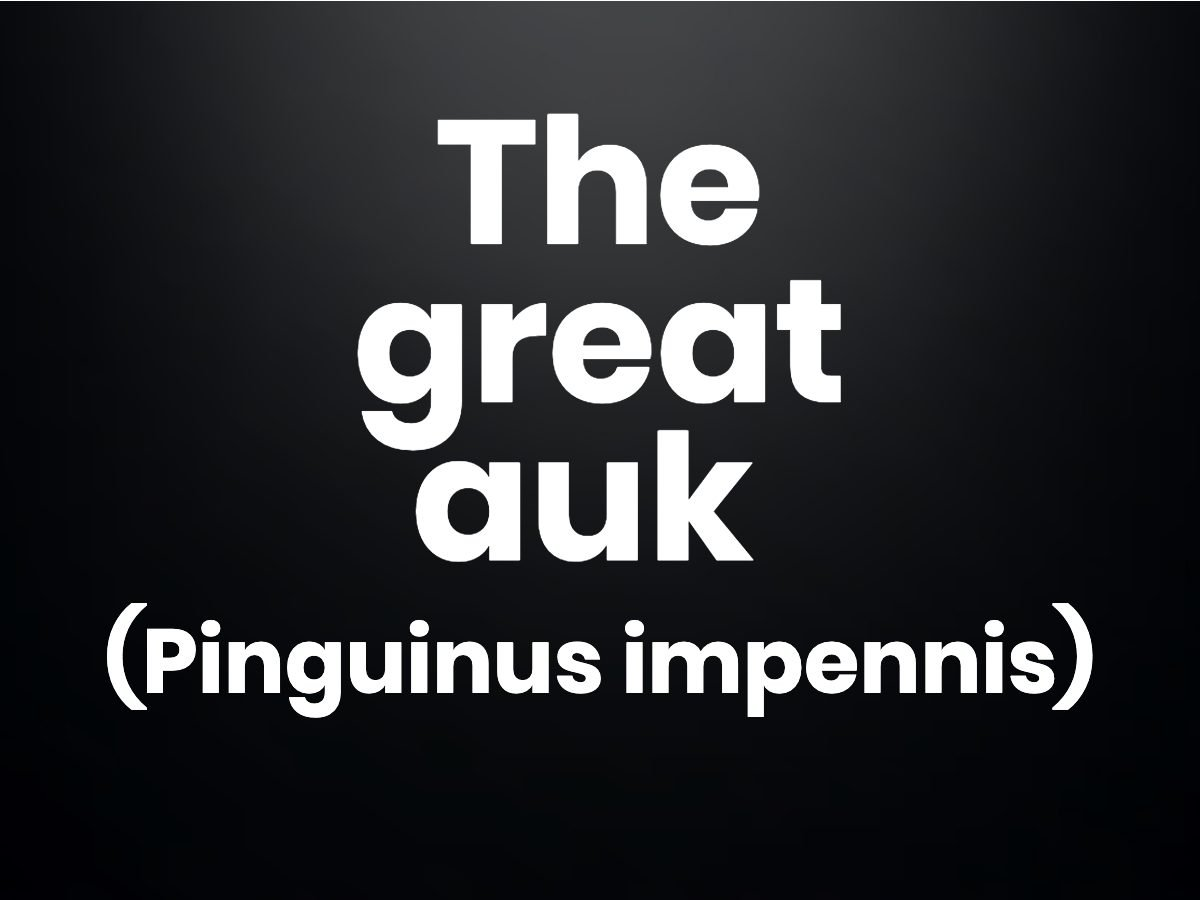 Trivia questions - The great auk (Pinguinus impennis)