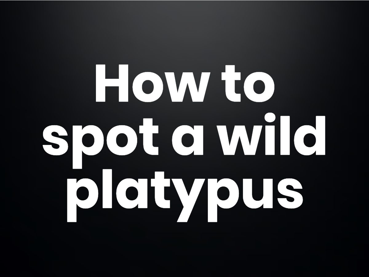 Trivia questions - How to spot a wild platypus