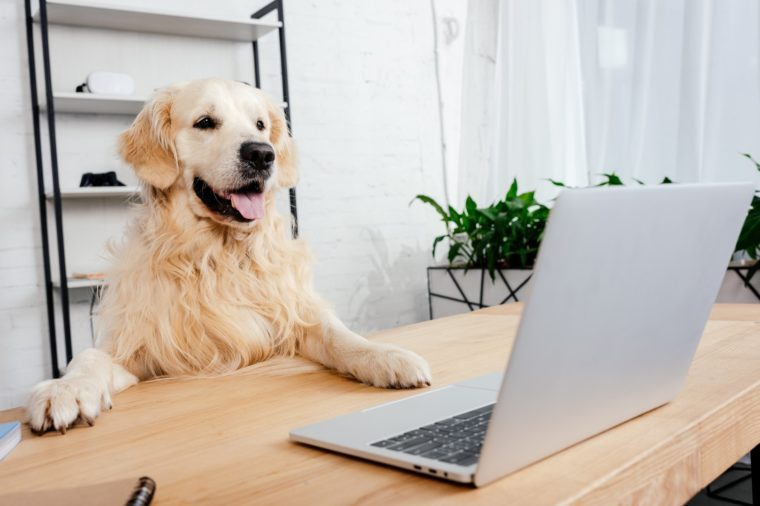 cute labrador dog looking at laptop on wooden table in office