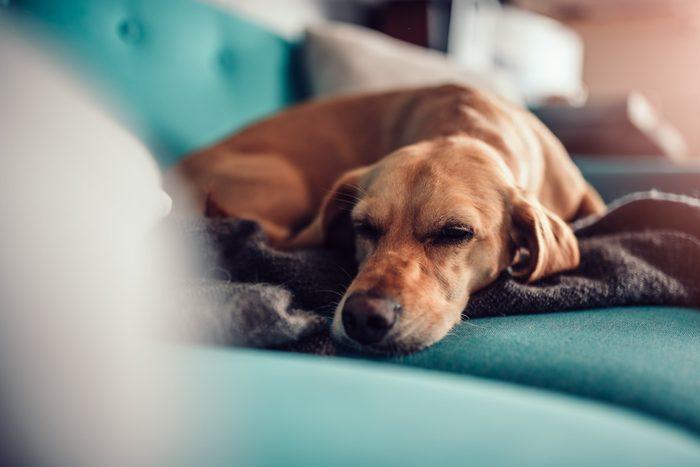 Dog sleeping on a sofa