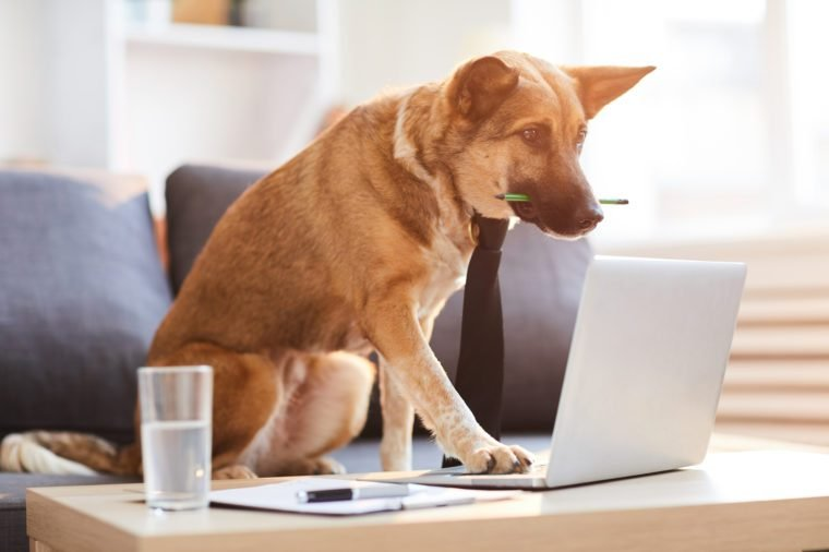 Full length portrit of dog wearing tie siting at desk and using computer, copy space