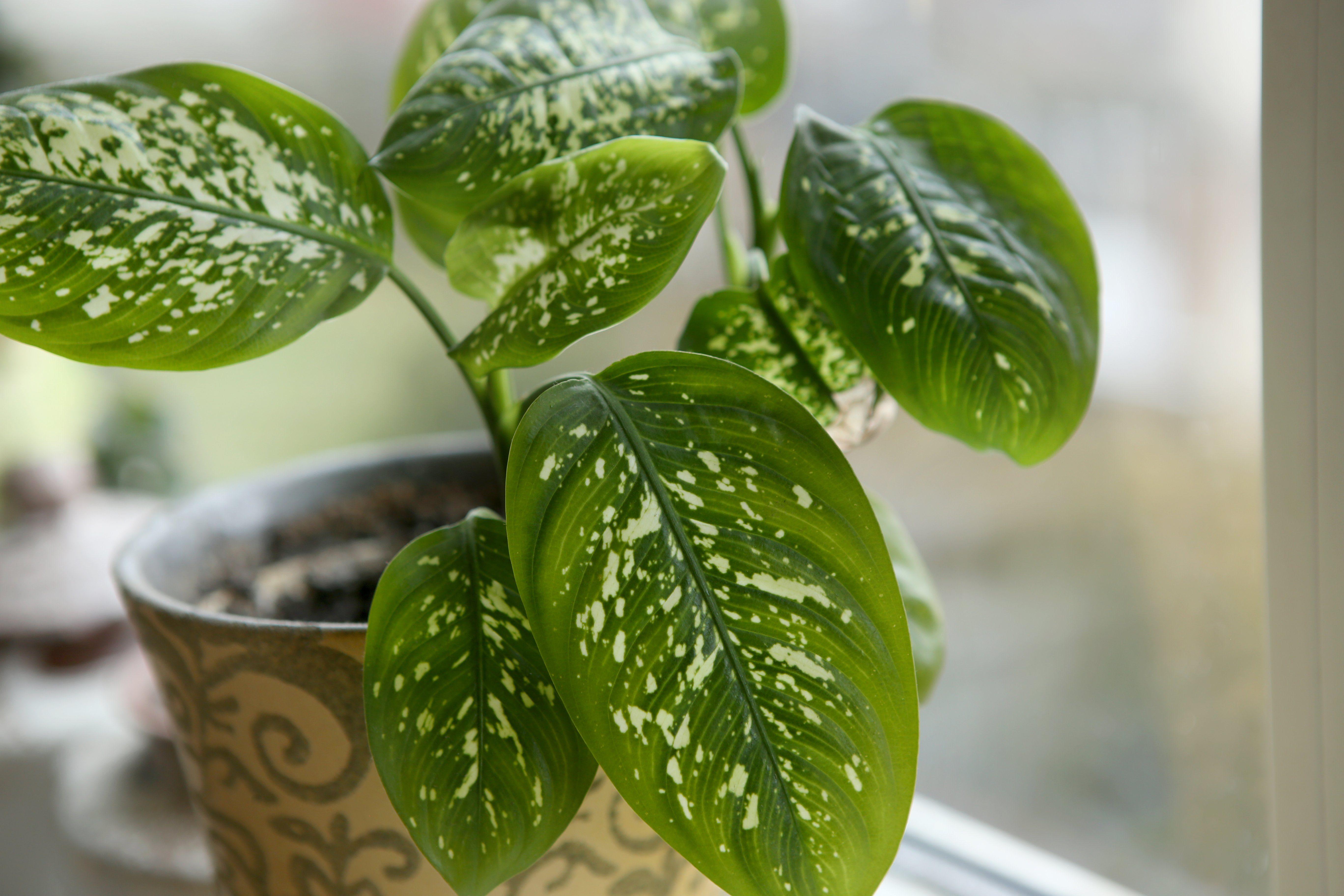 Dieffenbachia houseplant near window.