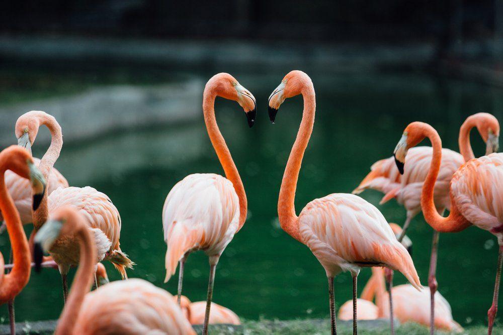 flock of beautiful pink flamingos near the river.