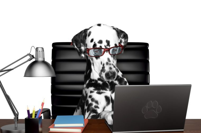 Dalmatian dog in glasses is doing some work on the computer. Isolated on white
