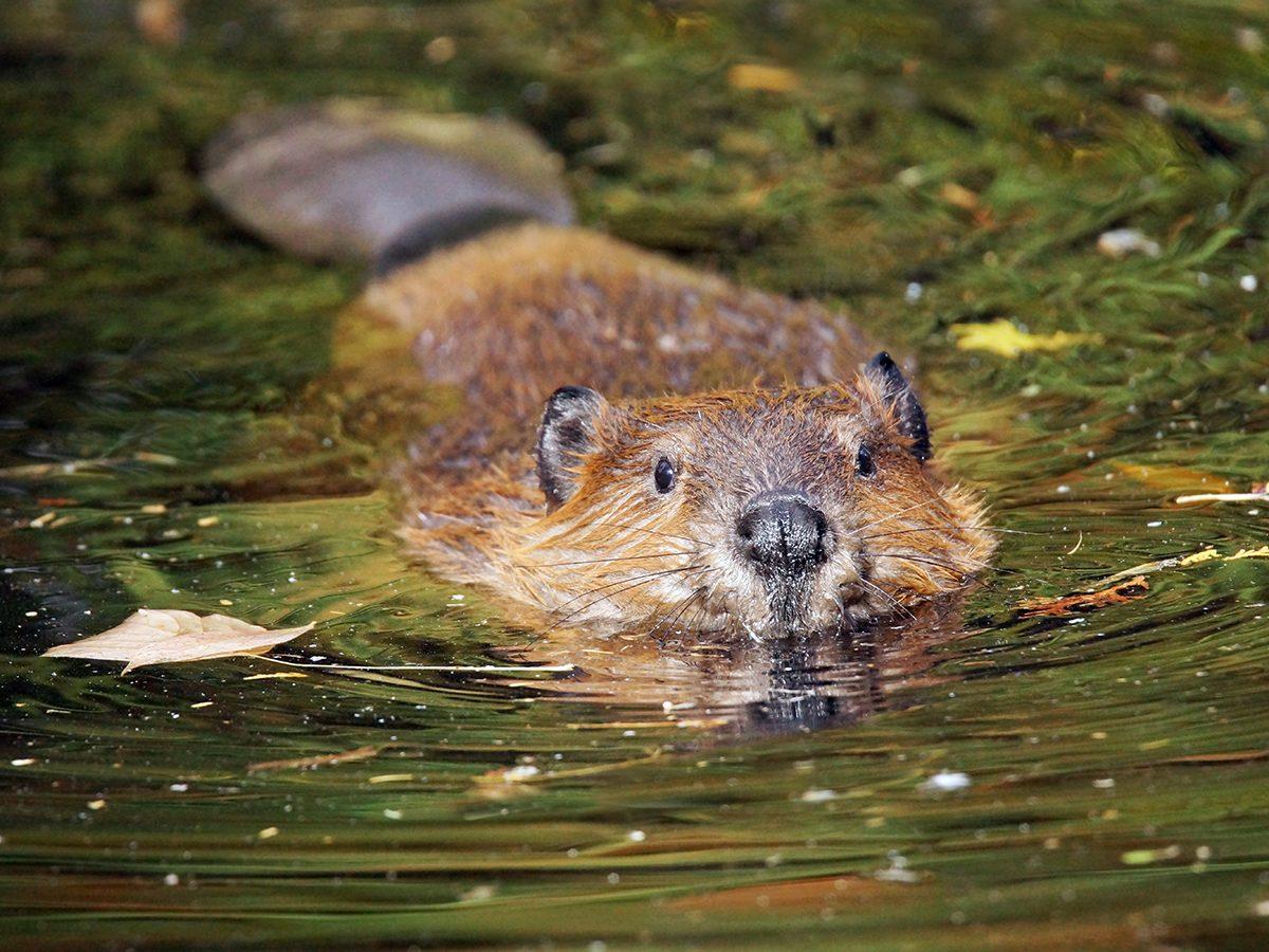 Good news - beaver swimming