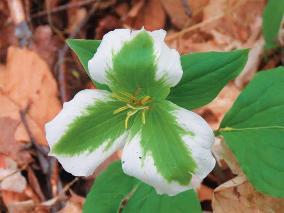 Green trillium in Exeter, Ontario