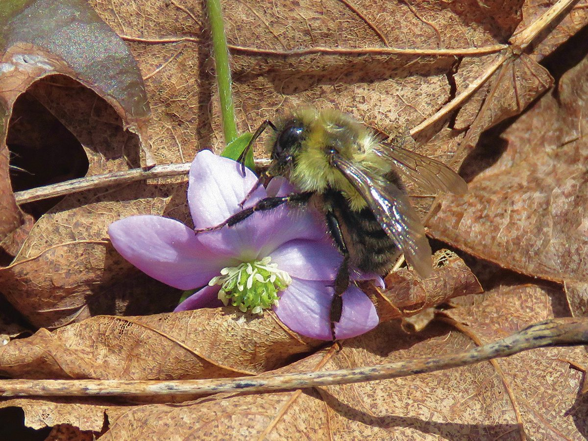 Honeybee and hepatica bloom in Exeter, Ontario