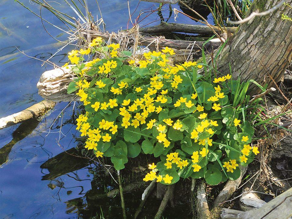 Marsh marigolds in Exeter, Ontario