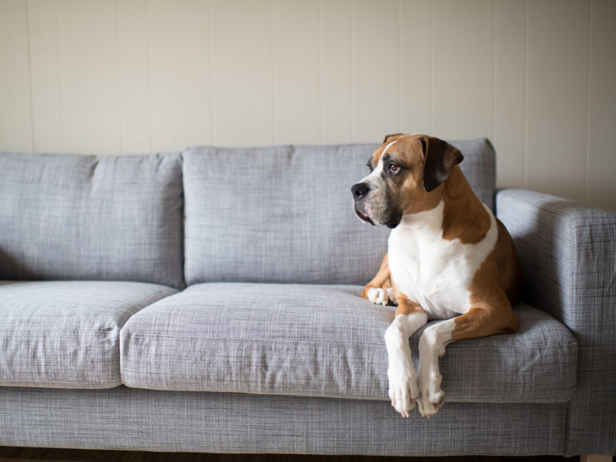 Lonely dog sitting on couch