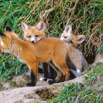 A Close Encounter With Red Fox Kits