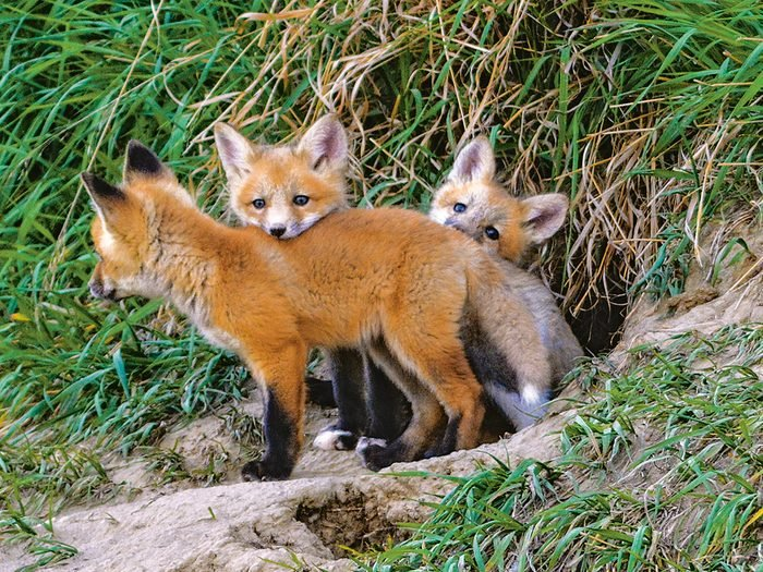 Red fox kits in the wild
