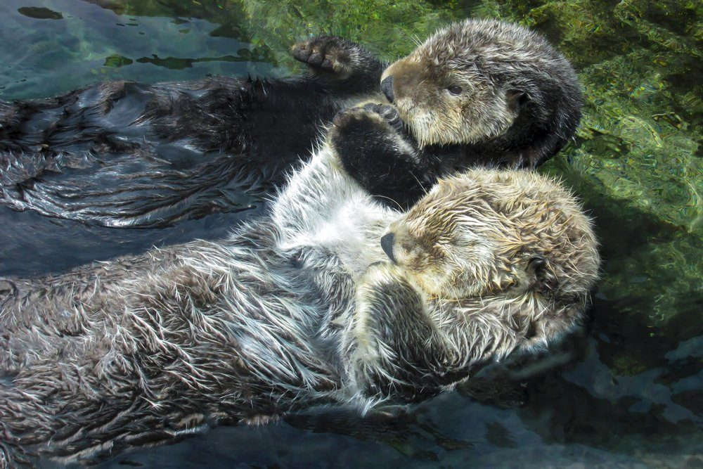 Two Otters Floating Hold Paws