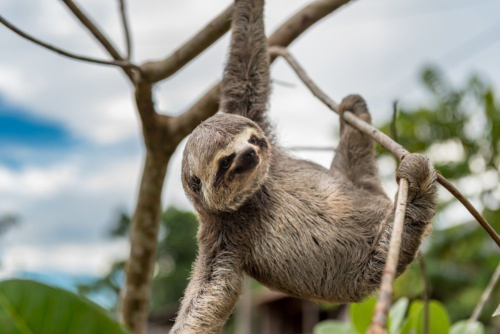 Small brown baby sloth hanging with three limbs and staring at the camera