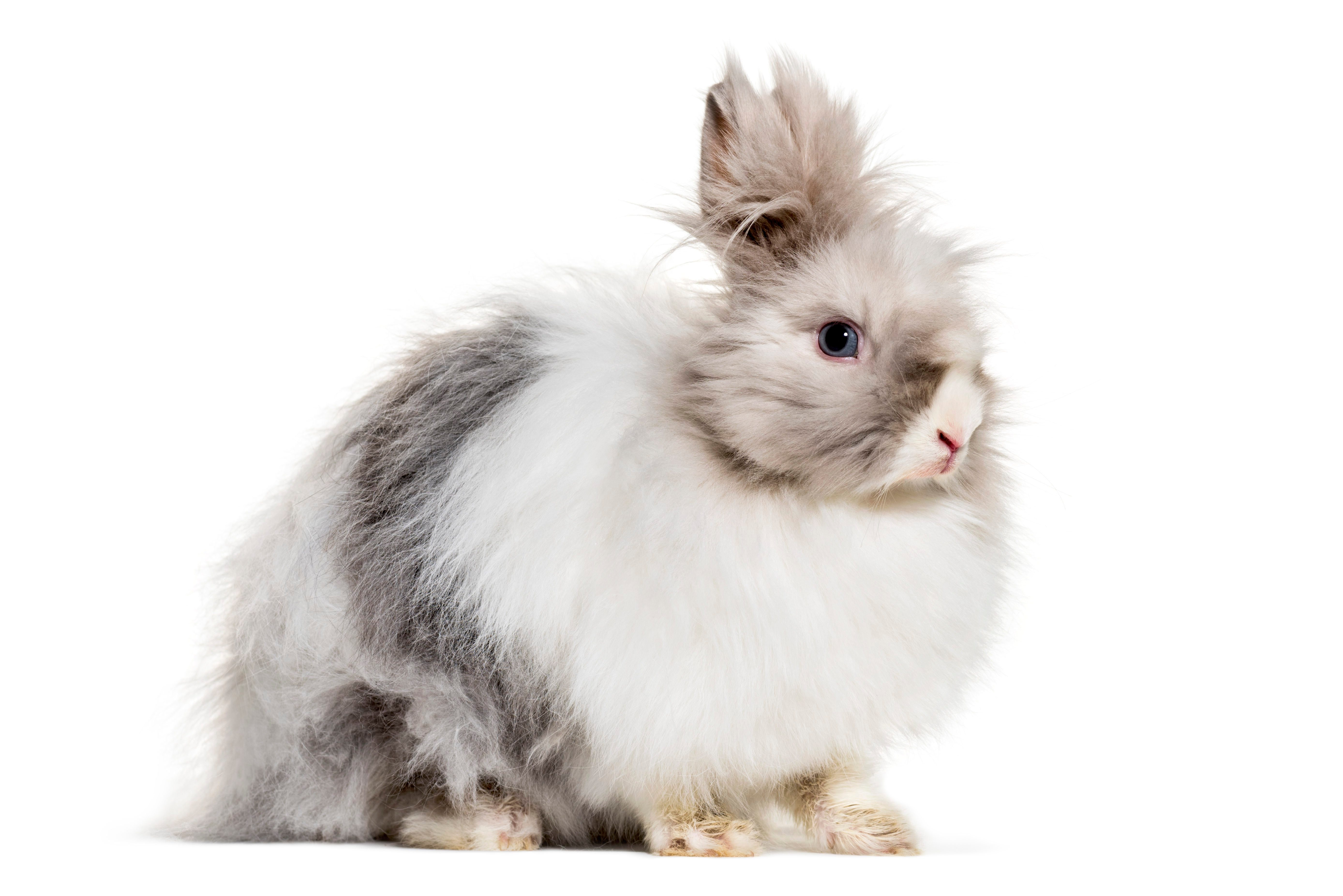 Angora rabbit, sitting against white background