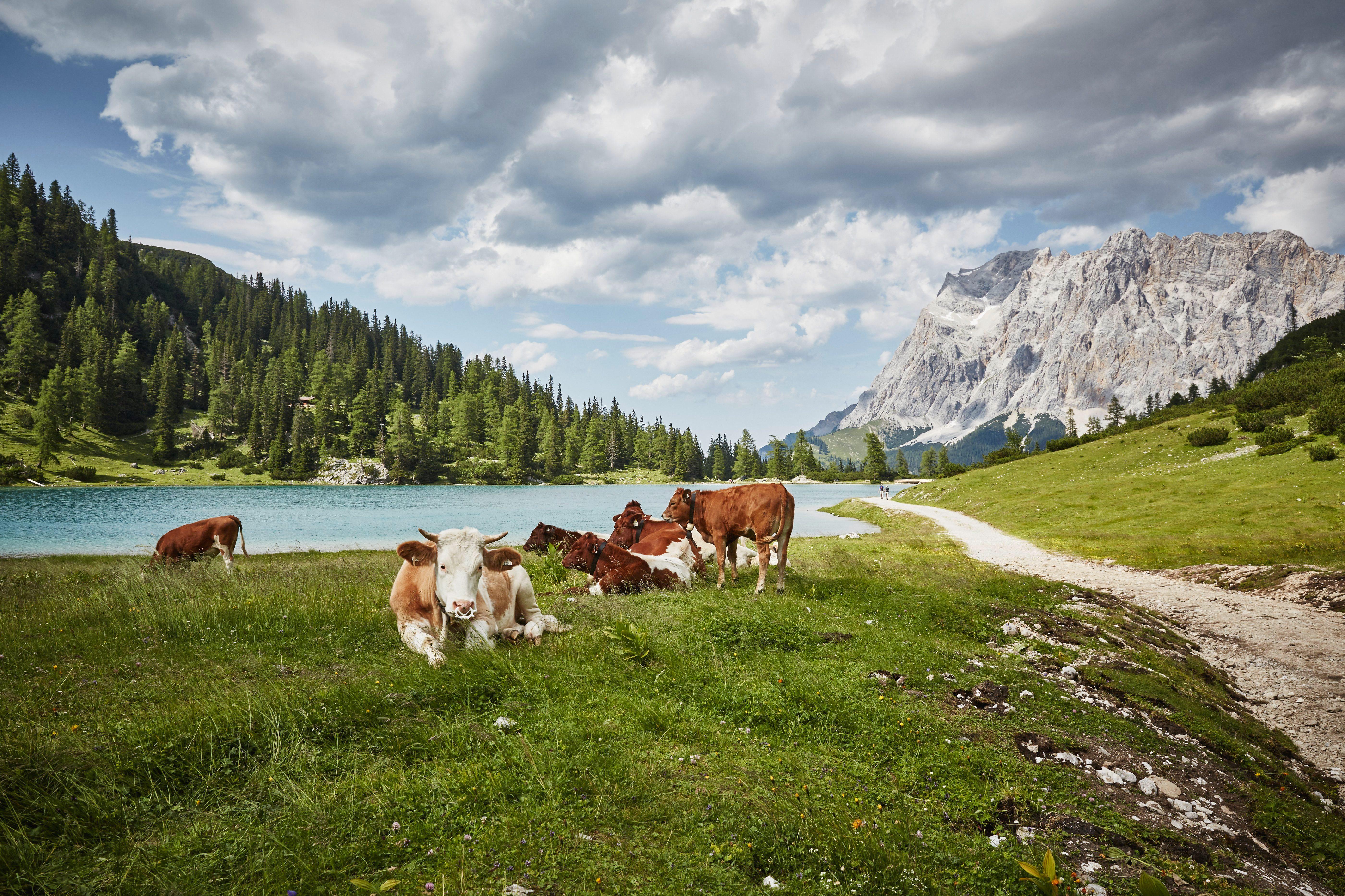 Cows in lakeside valley, Ehrwald, Tyrol, Austria