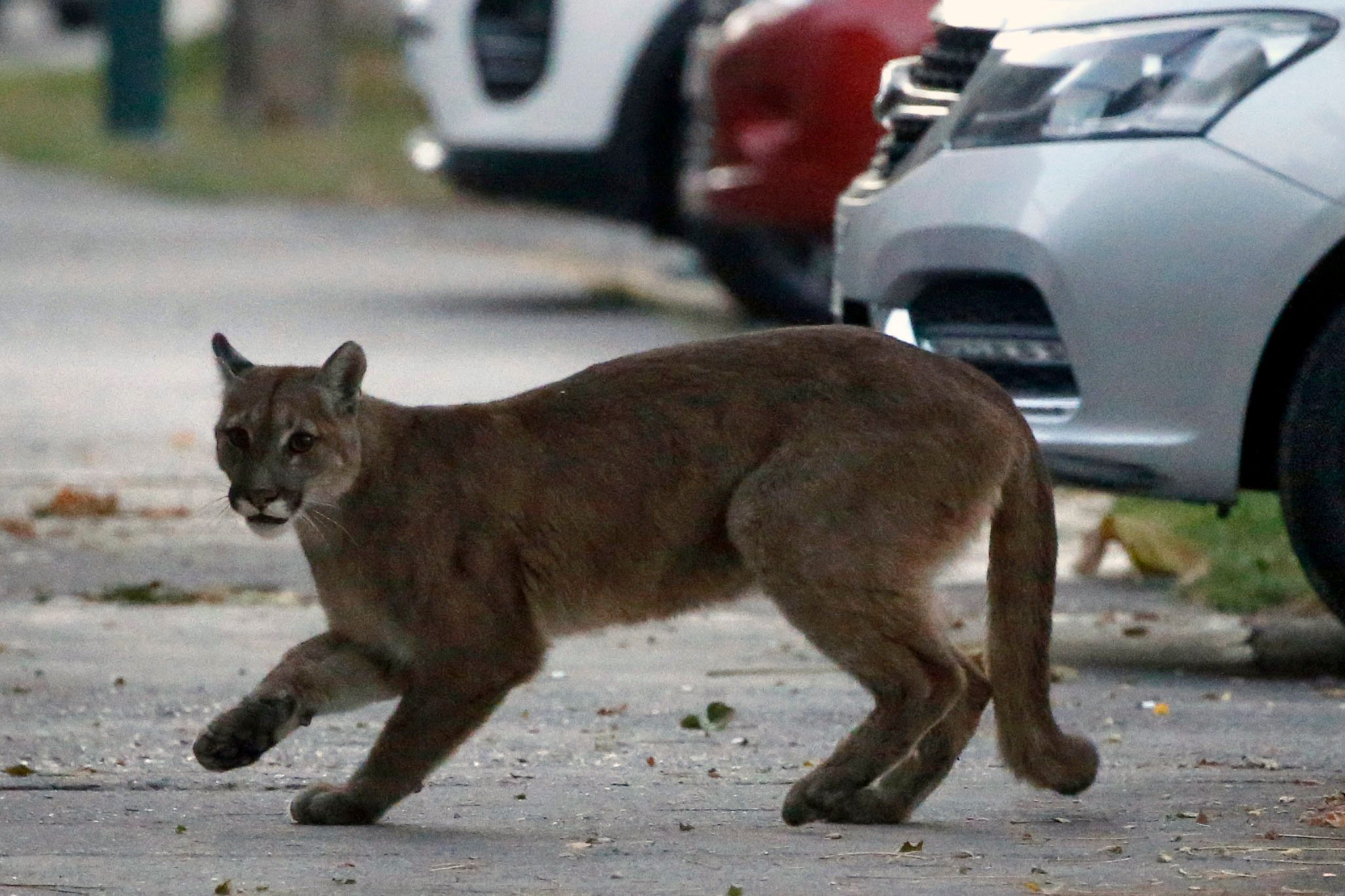 Puma on the loose in Santiago, Chile