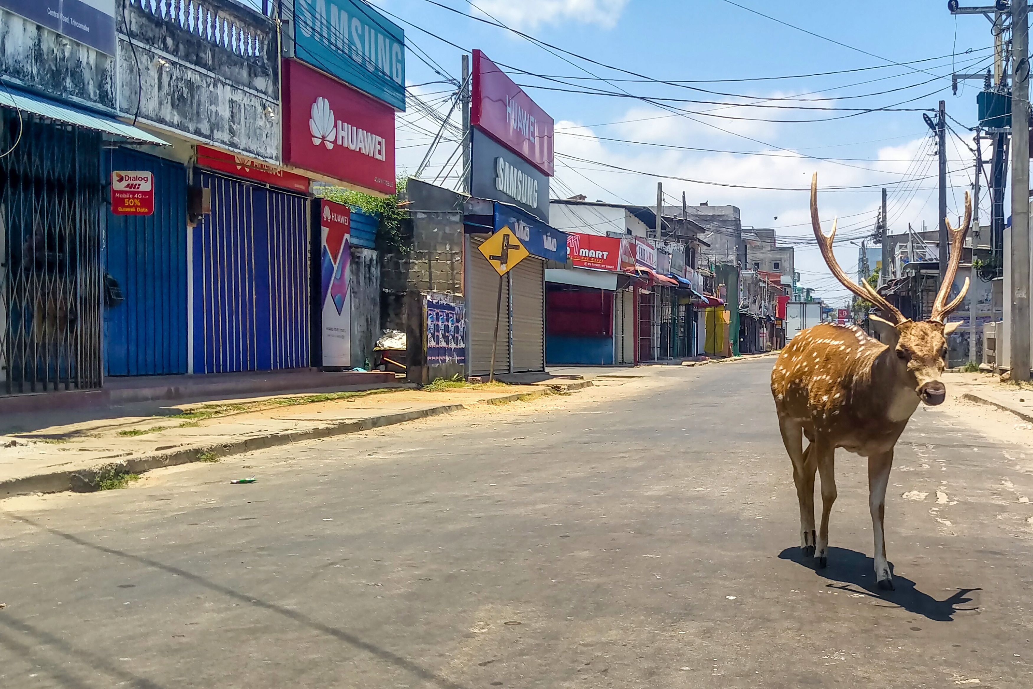 Deer walking on empty street in Sri Lanka
