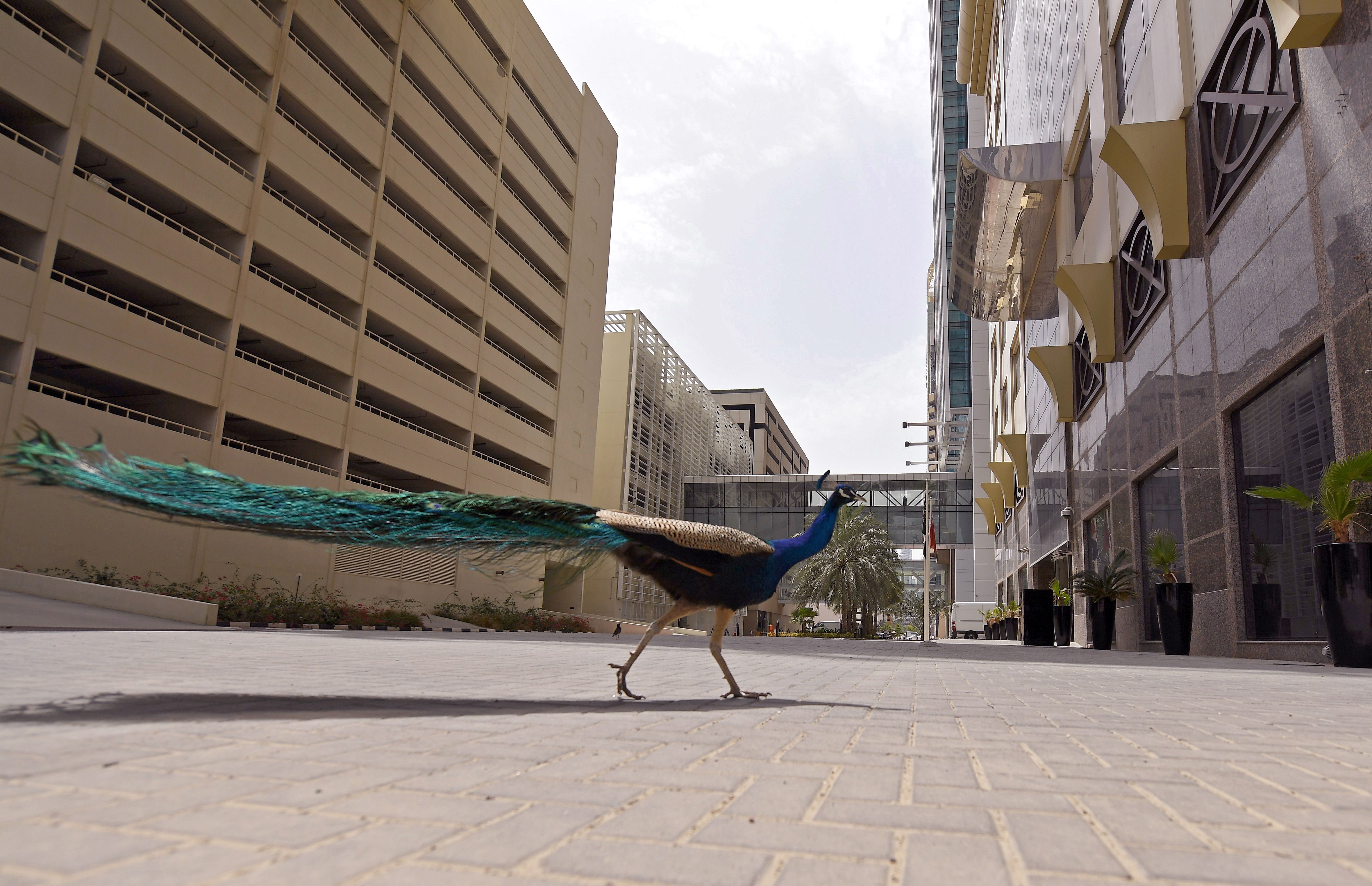 Peacock walking on desolate street in Dubai